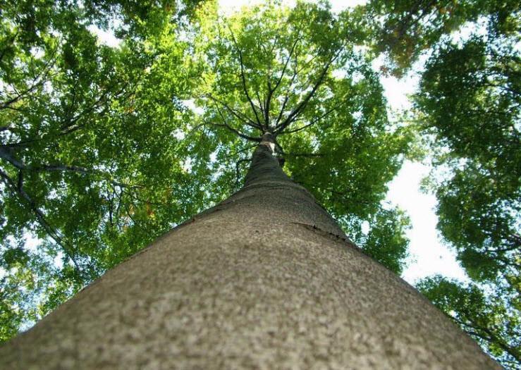 tree RR