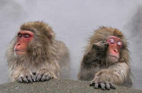 japanese monkey 2 crop