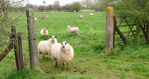 sheep-gate